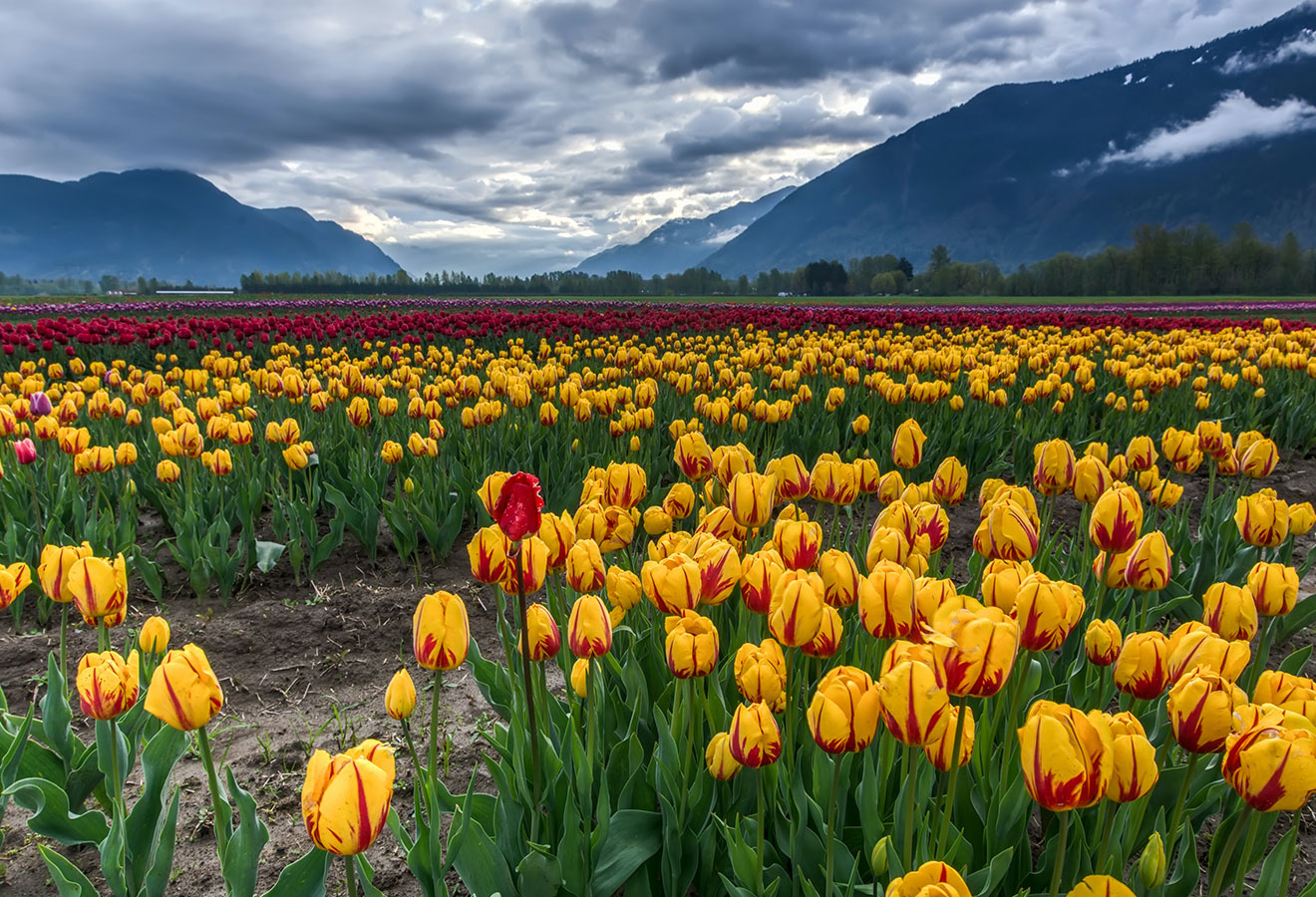 Tulip Mania – What was it and why does it matter today? – Episode 107